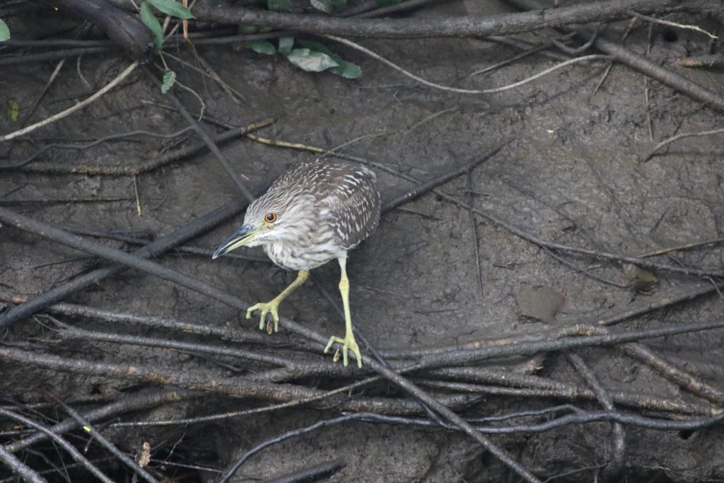 Black-crowned Night-Heron jus